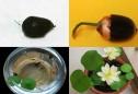Bí quyết tự trồng hoa sen mini tại gia cực dễ