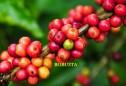 Tìm hiểu về cà phê Robusta