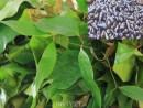 Rau ranh nấu ốc đá, món ngon ở Quảng Ngãi