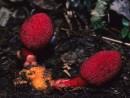 Thực hư công dụng của nấm ngọc cẩu