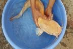 Cá trê vàng mắc lưới nông dân Ninh Bình