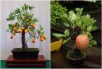 10 chậu cây bonsai trang trí nhà cực chất trong dịp Tết này