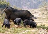 Thưởng thức lợn