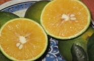 Cam Vinh – quà tặng ngọt lành đầu đông