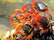 Thưởng thức hương vị của núi rừng Phú Yên: Cua đá suối