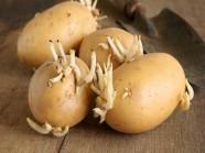 Khoai tây mọc mầm gây độc cho cơ thể