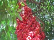 Món ngon từ dâu rừng chín đỏ ở Trường Sơn