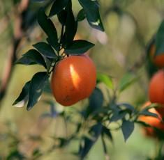 Giúp các mẹ phân biệt cam Canh chuẩn ngon và cam Canh Trung Quốc