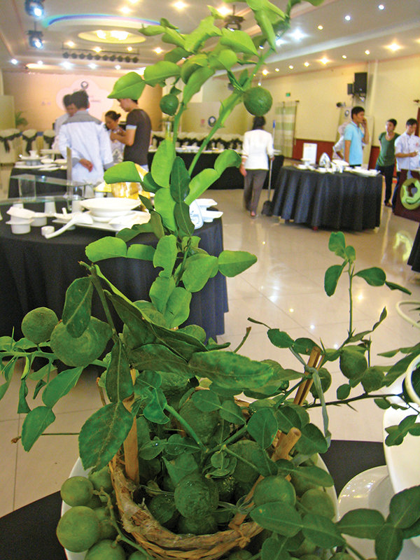 Cây chúc, một loại cây họ chanh bưởi ở vùng Bảy Núi (An Giang), được dùng làm gia vị