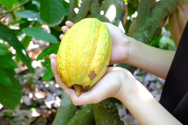 trái ca cao chín
