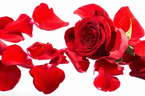Cánh hồng hoa