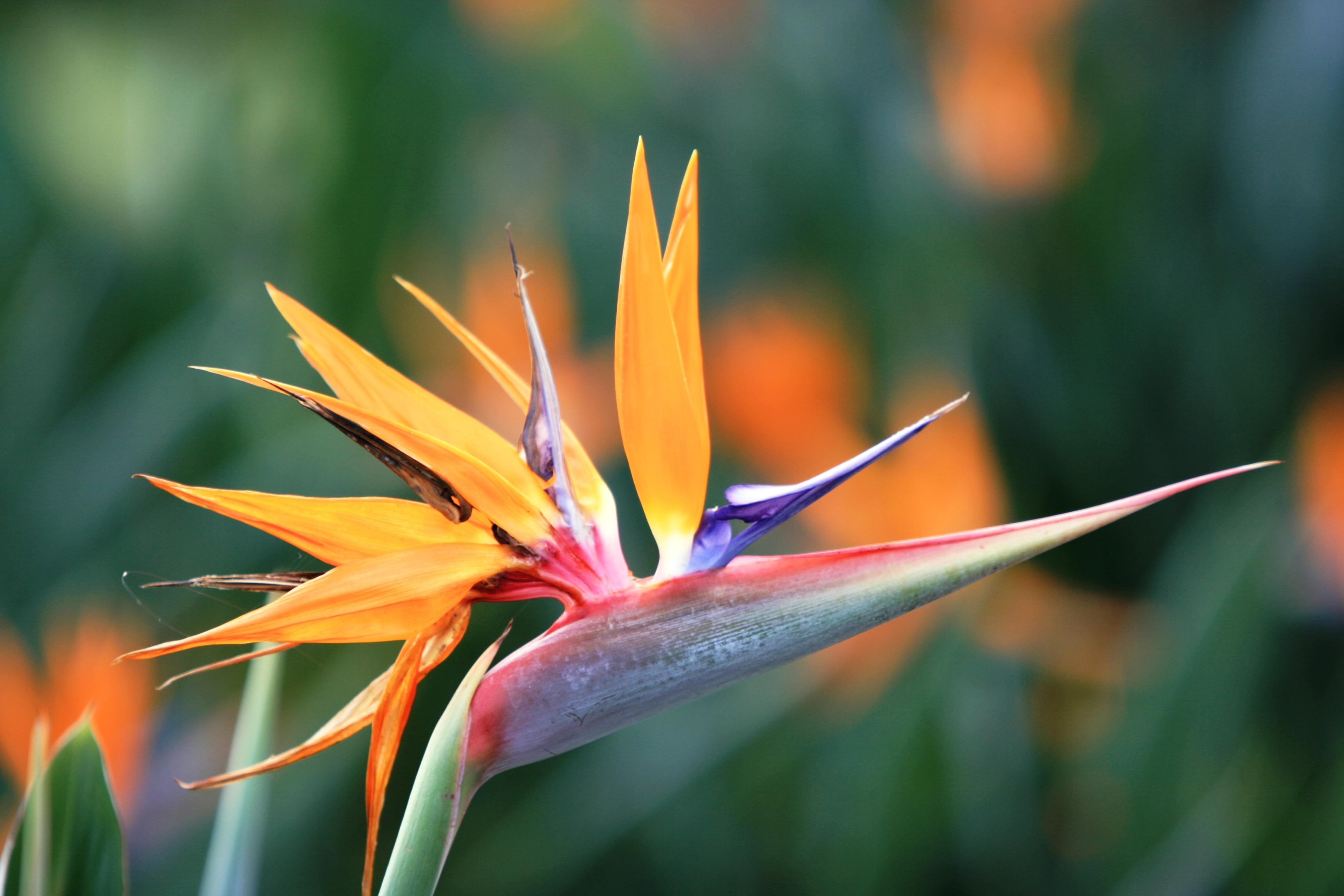 Bất ngờ: Loài hoa thiên yểu đẹp rực rỡ có thể ảnh hưởng đến hệ tiêu hóa1