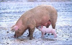 Lợn mẹ và lợn con