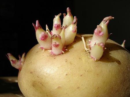 Cách bảo quản khoai tây không bị mọc mầm - 2
