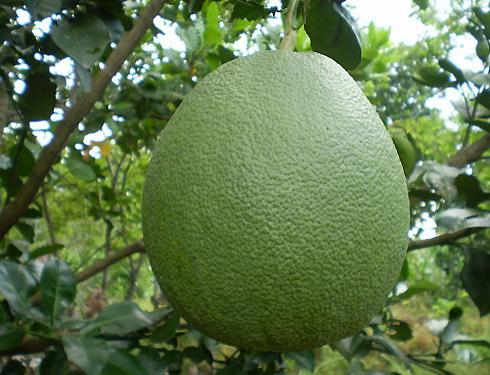 Bưởi da xanh là đặc sản trái cây nổi tiếng của tỉnh Bến Tre. Bưởi da xanh mùa nào cũng có. Trái bưởi da xanh khá to, từ 1200 – 1500g/trái, có dạng hình quả cầu. Bưởi da xanh được trồng nhiều ở Mỹ Thạnh An (thành phố Bến Tre) và huyện Mỏ Cày.