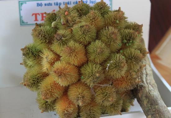 Trái nhím thoạt nhìn qua không khác gì những trái chôm chôm lông, tuy nhiên gai của chúng thì cứng hơn.