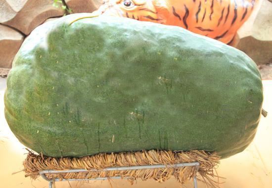 Trái bí đao đến từ Bình Định có trọng lượng là 50kg.